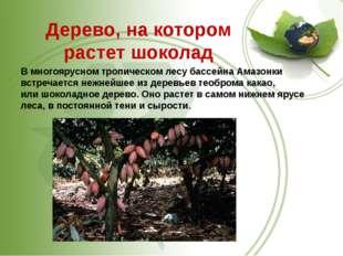 Дерево, на котором растет шоколад В многоярусном тропическом лесу бассейна А