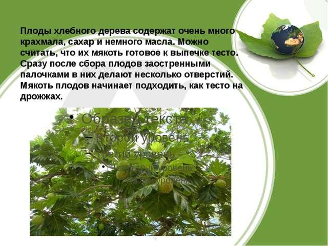 Плоды хлебного дерева содержат очень много крахмала, сахар и немного масла....