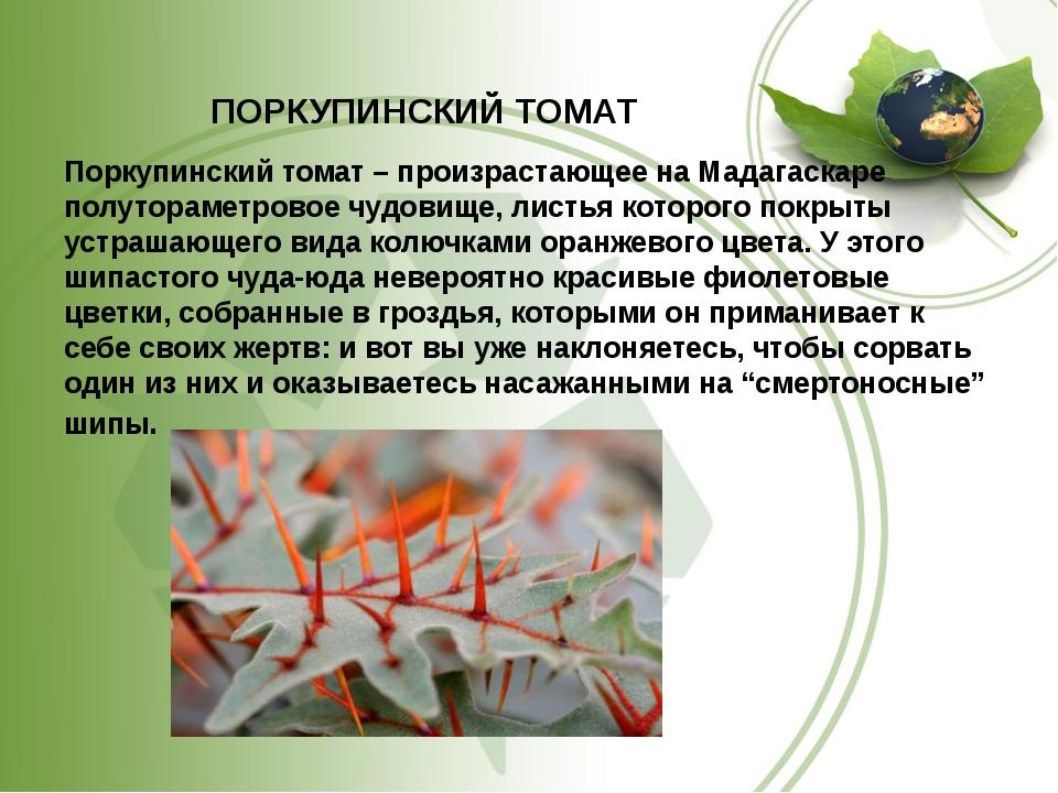ПОРКУПИНСКИЙ ТОМАТ Поркупинский томат – произрастающее на Мадагаскаре полутор...