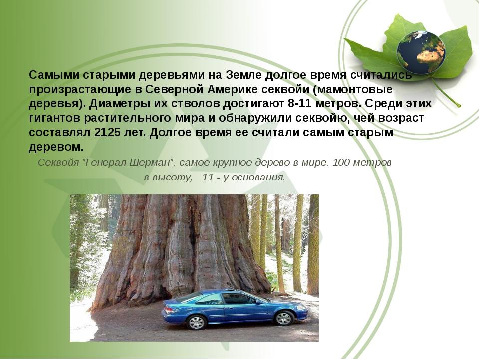Самыми старыми деревьями на Земле долгое время считались произрастающие в Се...