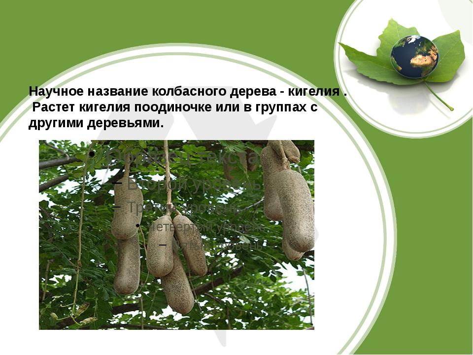 Научное название колбасного дерева -кигелия. Растет кигелия поодиночке или...