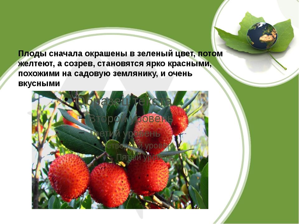 Плоды сначала окрашены в зеленый цвет, потом желтеют, а созрев, становятся я...