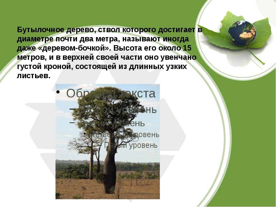 Бутылочное дерево, ствол которого достигает в диаметре почти два метра, назы...