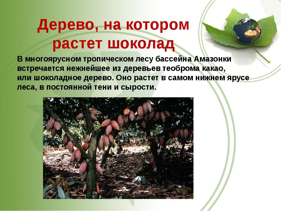 Дерево, на котором растет шоколад В многоярусном тропическом лесу бассейна А...
