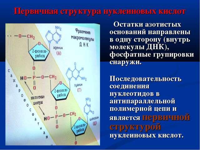 Первичная структура нуклеиновых кислот Остатки азотистых оснований направлены...