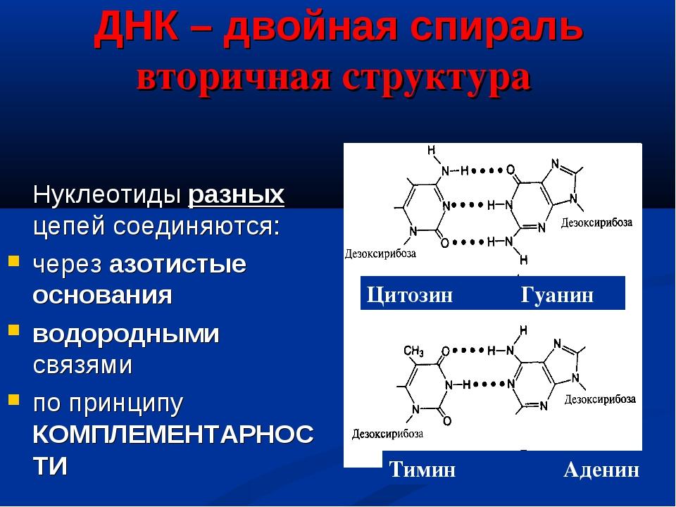 ДНК – двойная спираль вторичная структура  Нуклеотиды разных цепей соединяю...