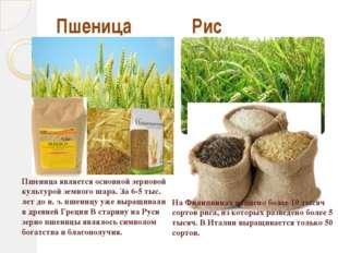 Пшеница Рис На Филиппинах найдено более 10 тысяч сортов риса, из которых разв