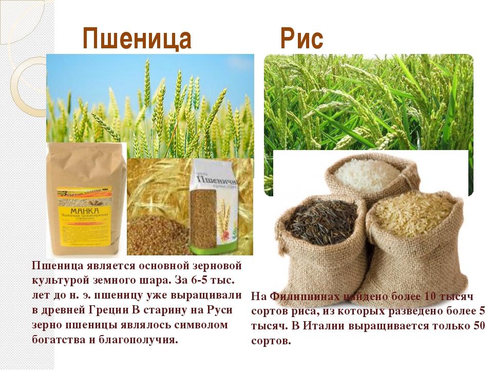 Пшеница Рис На Филиппинах найдено более 10 тысяч сортов риса, из которых разв...