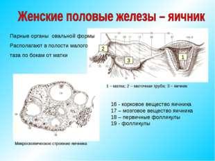 Парные органы овальной формы Располагают в полости малого таза по бокам от ма