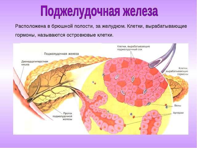 Расположена в брюшной полости, за желудком. Клетки, вырабатывающие гормоны, н...