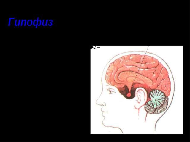 – нижний мозговой придаток, расположен в основании головного мозга над средн...