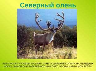 Северный олень РОГА НОСЯТ И САМЦЫ И САМКИ. У НЕГО ШИРОКИЕ КОПЫТА НА ПЕРЕДНИХ