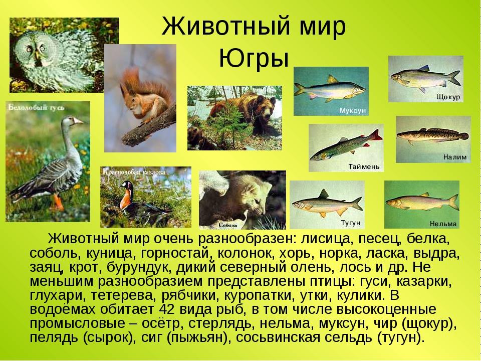 звери хмао югры фото и описание концептуальная