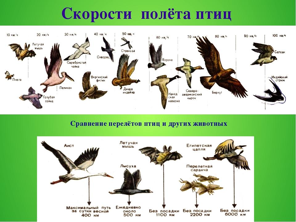 Скорости полёта птиц Сравнение перелётов птиц и других животных