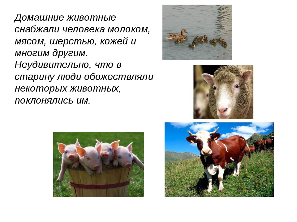Домашние животные снабжали человека молоком, мясом, шерстью, кожей и многим д...