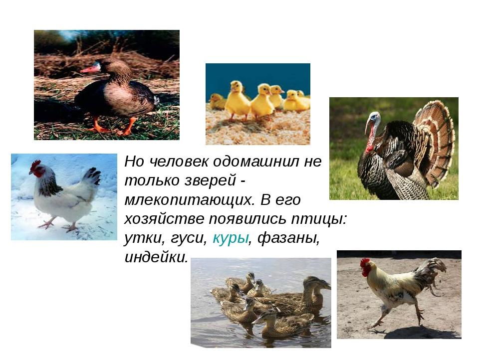Но человек одомашнил не только зверей - млекопитающих. В его хозяйстве появил...