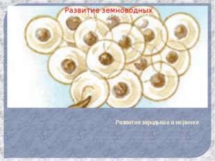 Развитие зародыша в икринке Развитие зародыша в икринке около полутора недель