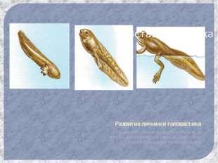 Развитие личинки головастика Головастик похож на рыбу у него есть жабры,,двух