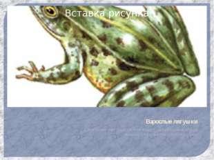 Взрослые лягушки У лягушек нет хвоста они ведут полуводный образ жизни, стано