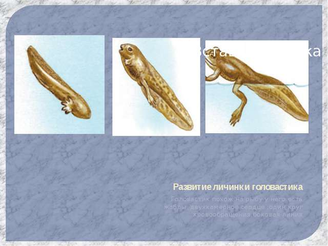 Развитие личинки головастика Головастик похож на рыбу у него есть жабры,,двух...