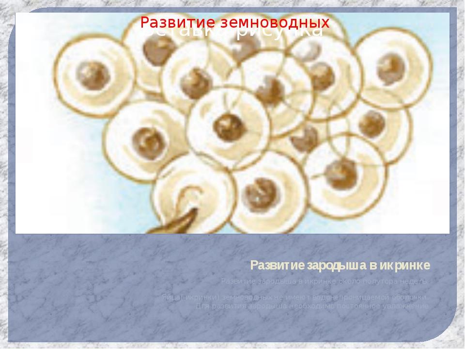 Развитие зародыша в икринке Развитие зародыша в икринке около полутора недель...