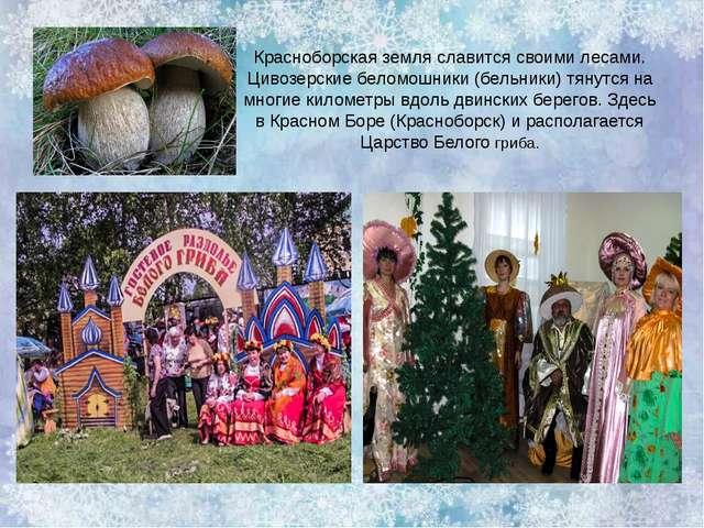 Красноборская земля славится своими лесами. Цивозерские беломошники (бельники...