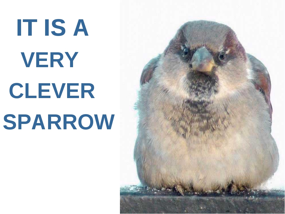IT IS A VERY CLEVER SPARROW