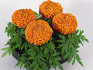 tagetes1_erecta_antigua_orange.jpg