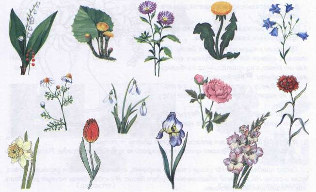 Ягоды годжи цветок василек с корнем Худеем вместе!