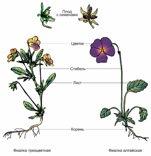 Строение цветка для 3 класса