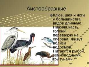 Аистообразные Клюв, шея и ноги у большинства видов длинные. Нижняя часть голе