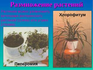 Размножение растений Растения можно размножить веточками материнского растени