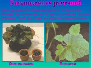 Размножение растений Некоторые растения размножаются отпрысками (слева), а у