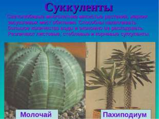 Cуккуленты Светолюбивые многолетние мясистые растения, жарких засушливых мест