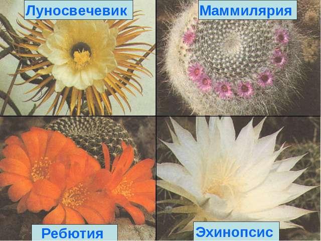 Эхинопсис Ребютия Маммилярия Луносвечевик