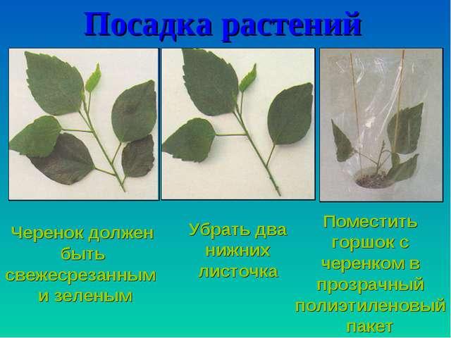 Посадка растений Черенок должен быть свежесрезанным и зеленым Убрать два нижн...
