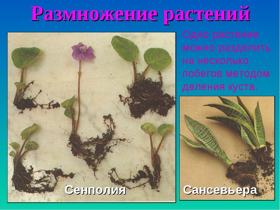 Размножение растений Одно растение можно разделить на несколько побегов метод...
