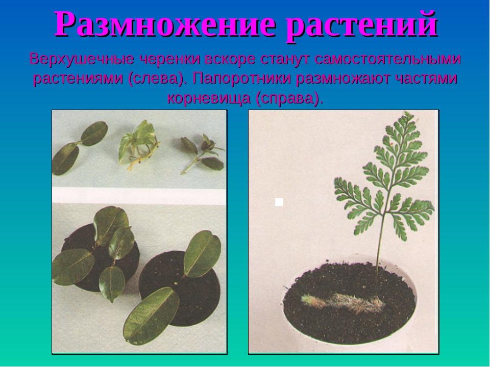 Размножение растений Верхушечные черенки вскоре станут самостоятельными расте...