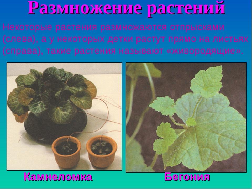 Размножение растений Некоторые растения размножаются отпрысками (слева), а у...