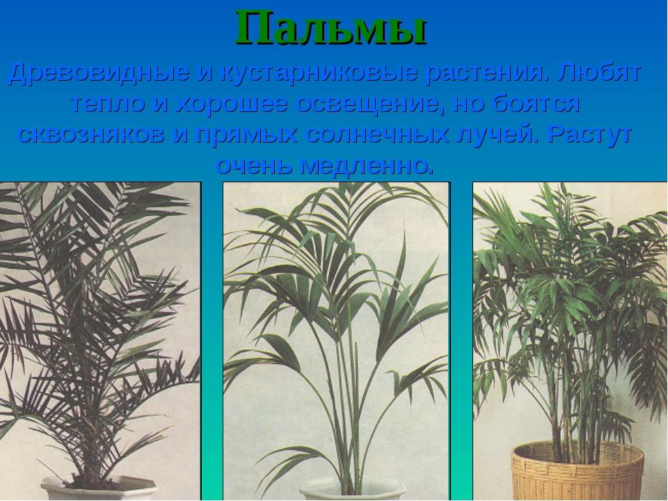 Пальмы Древовидные и кустарниковые растения. Любят тепло и хорошее освещение,...