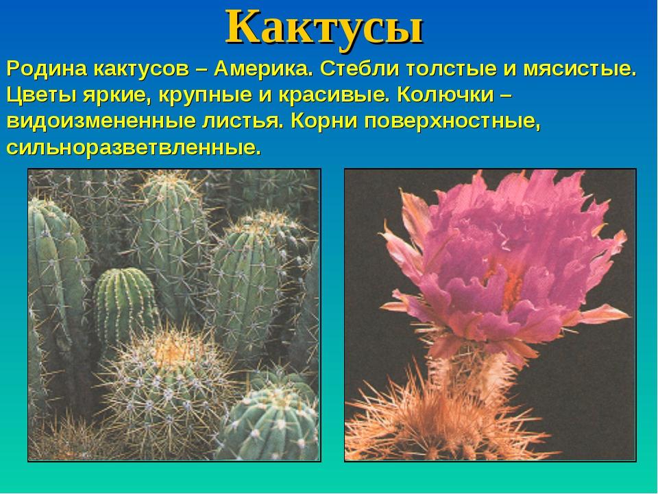 Кактусы Родина кактусов – Америка. Стебли толстые и мясистые. Цветы яркие, кр...