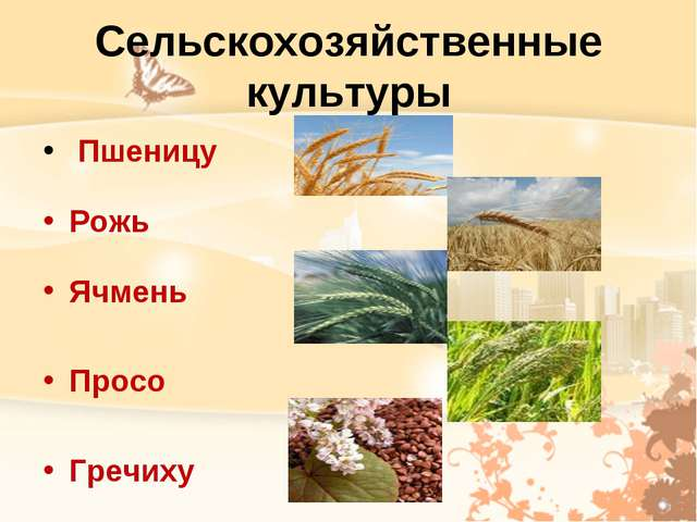 Сельскохозяйственные культуры Пшеницу Рожь Ячмень Просо Гречиху