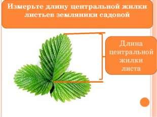 Длина центральной жилки листа Измерьте длину центральной жилки листьев земля