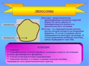 Лизосомы - микроскопические одномембранные органеллы округлой формы Их число