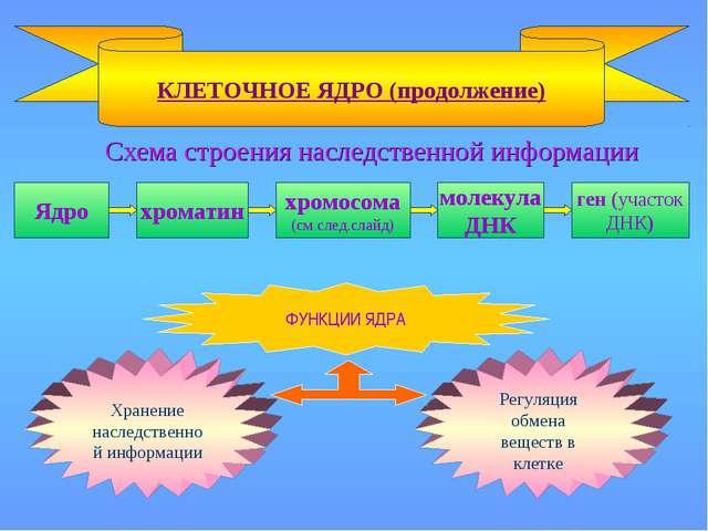 Схема строения наследственной информации КЛЕТОЧНОЕ ЯДРО (продолжение) Ядро х...