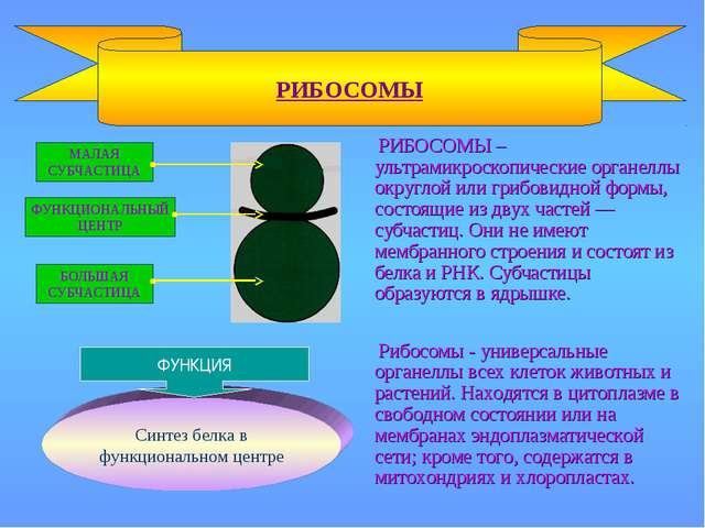 РИБОСОМЫ – ультрамикроскопические органеллы округлой или грибовидной формы,...