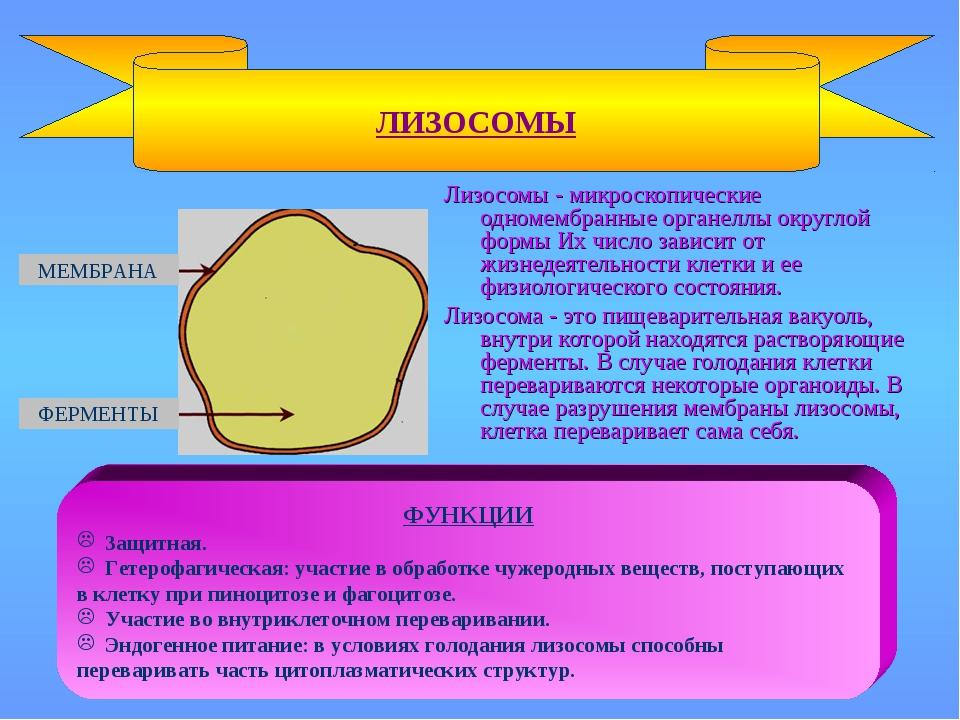 Лизосомы - микроскопические одномембранные органеллы округлой формы Их число...