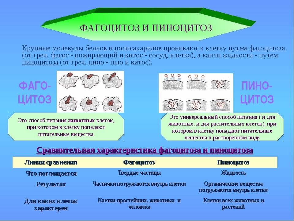 Сравнительная характеристика фагоцитоза и пиноцитоза ФАГОЦИТОЗ И ПИНОЦИТОЗ Кр...
