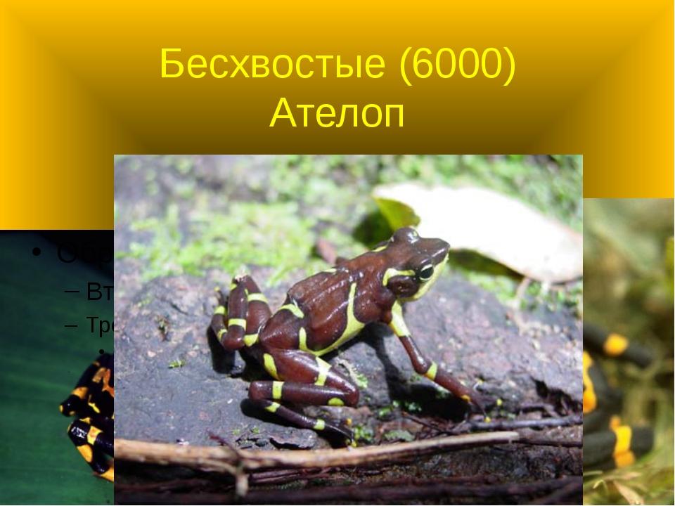 Бесхвостые (6000) Ателоп