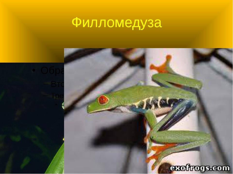 Филломедуза